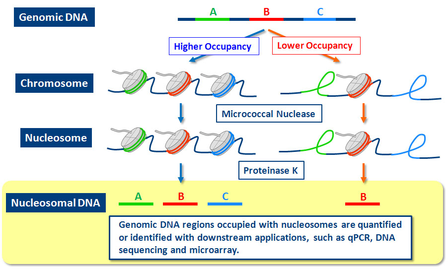 Genomic DNA regions occupied with nucleosomes are quantified or identified with downstream applications, such as qPCR, DNA sequencing, and microarray